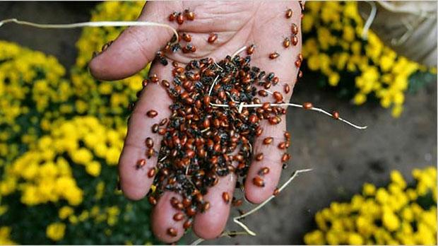 Traffic School To Go >> Ladybug invasion | CTV Ottawa News