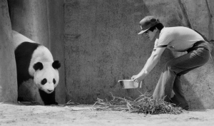 Qing Qing, one of two giant pandas visiting Canada for the first time, is coaxed out of her den by one a Chinese trainer in Toronto on July 18, 1985. (Mike Blake / THE CANADIAN PRESS)
