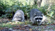 A Toronto man organized a rally against the raccoons that dig up gardens in his neighbourhood on Saturday. Tamara Cherry reports.