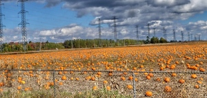 Pumpkins growing at the corners of Hunt Club and Greenbank Rd. (Judy LaRiviere/CTV Viewer)