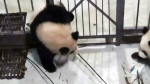 CTV Vancouver: Giant panda breaks iron bars
