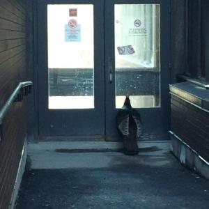 'Tom the Turkey' peers through the doors of Carleton University campus.  (Kaleigh S. Bradley/Twitter/@histkaleigh)
