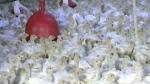 CTV Kitchener: Avian flu