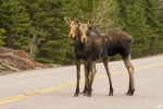 A pair of moose twins in Algonquin Park in beautiful spring weather. (Ray Pregent/CTV Viewer)