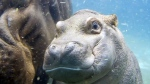 Extended: Baby Hippo debuts at San Diego zoo