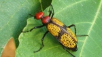 An Iron Cross Blister beetle of the type reported in pre-packaged salads. (CFIA)