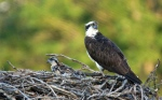 A female Osprey with young ones at the Seaway Locks in Iroquoi. (Cathy Lozo/CTV Viewer)