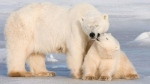 A polar bear cub kisses his mother in Wapusk National Park on the shore of Hudson Bay near Churchill, Man. on Nov. 4, 2007. (Jonathan Hayward / THE CANADIAN PRESS)