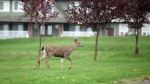 A male black tailed deer makes its way across residential property in search of food in Victoria, B.C., Oct. 27, 2011. (Chad Hipolito / THE CANADIAN PRESS IMAGES)