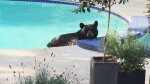 A bear in British Columbia relaxes in the swimming pool of North Vancouver resident, Tony Diering on Monday, Aug. 17, 2015. A summer of wildfires and unseasonably dry conditions has ravaged food stocks for British Columbia's bears, and many are encroaching into urban areas to hunt for food.