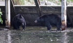 People from all over the world travel to Campbell River, B.C., for world-class fishing. But lately it's not just people. The pink salmon are spawning and that's bringing out black bears -- and their admirers. Sept. 4, 2015. (CTV Vancouver Island)