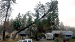 Strong winds blow tree onto house