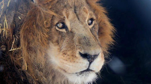 death of lion who escaped zoo enclosure highlights lack of. Black Bedroom Furniture Sets. Home Design Ideas