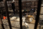 In this April 26, 2016 photo, a former circus lion rests in a cage on the outskirts of Lima, Peru. Thirty-three lions rescued from circuses in Peru and Colombia are heading back to their homeland on Friday, April 29 to live out the rest of their lives in a private sanctuary in South Africa. (AP photo/Martin Mejia)