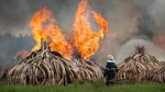 A fireman walks past as pyres of ivory are set on fire in Nairobi National Park, Kenya Saturday, April 30, 2016. (AP / Ben Curtis)