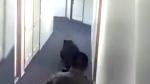 Extended: Firefighters evict bear burglar