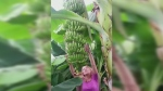 CTV News Channel: Growing bananas in Ontario