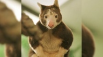 A Matschie's tree kangaroo is seen in this photo from the Roger Williams Park Zoo's website.