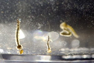 In this Wednesday, Aug. 24, 2016 file photo, Aedes Aegypti mosquito larvae swim in a container at the Florida Mosquito Control District Office in Marathon, Fla. (AP Photo/Wilfredo Lee)