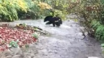 Bear goes fishing on Coquitlam River