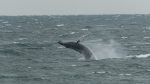 """The mayor witnessed two adult whales with a young one """"constantly breaching"""" in the waves near Point Prim on Sunday. (Ben Cleveland/Facebook)"""