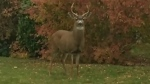 Buck charges at woman and dog in Fairfield