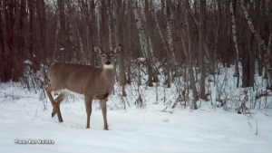 A whitetail doe on the snow, taken with a trail camera on my property in Avonmore, Ontario. (Ron Mallette/CTV Viewer)