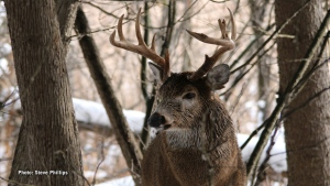 A handsome buck in Kanata. (Steve Phillips/CTV Viewer)