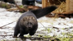 A Pacific fisher takes off running after being released into a forest at Mount Rainier National Park, Wash. on Friday, Dec. 2, 2016. (AP / Elaine Thompson)