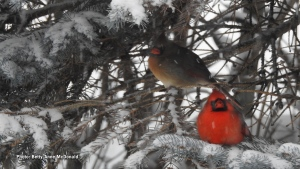 Cardinals in the snow appear even more beautiful than normal. (Betty-Anne McDonald/CTV Viewer)