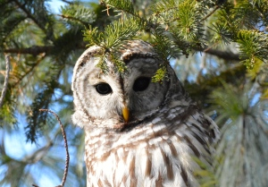 Barred Owl in Ottawa. Vic Dillabaugh/CTV Viewer)