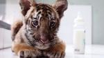 Sari, a two-month-old Bengal tiger cub, sits at a nursery in the Bali Zoo in Bali, Indonesia, Monday, Jan. 16, 2017. Sari was born on November 9 last year. (AP Photo/Firdia Lisnawati)