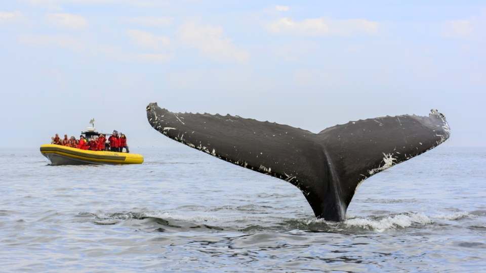 Whale watching, Côte-Nord