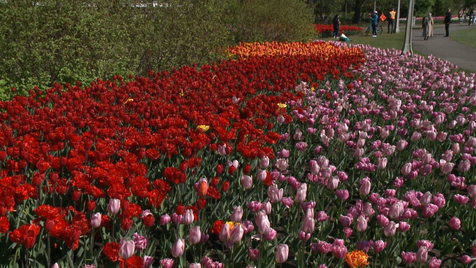 Tulips in full bloom at Commissioner's Park