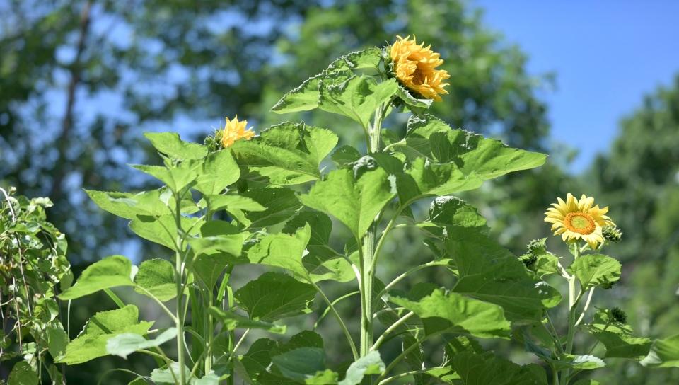 Happy Sunflower Volunteers