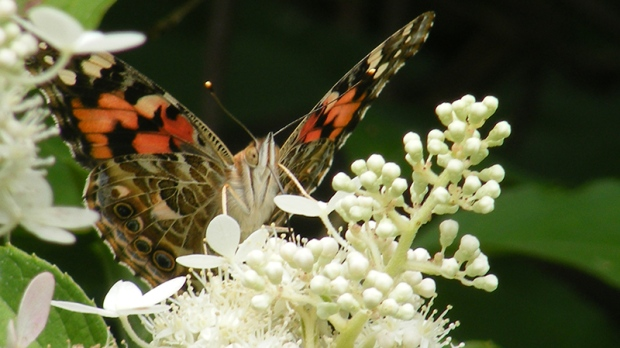 Painted Lady Butterfly (Viewer photo submitted by: Craig Bell )